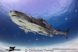 Tiger Shark from Tiger Beach, Bahamas by Christian Torres